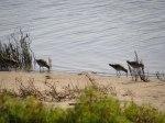 Migratory Birds Saltmarsh Sarcocornia quinqueflora Mia Dalby-Ball Sydney NSW