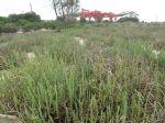 Saltmarsh Sarcocornia quinqueflora Mia Dalby-Ball