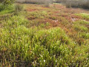 Saltmarsh Batemans Bay by Dragonfly Environmental